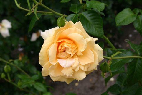 Strauchrose 'Westfalenpark' ® - Rosa 'Westfalenpark' ®