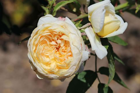 Strauchrose 'Yellow Romantica' ® - Rosa 'Yellow Romantica' ®