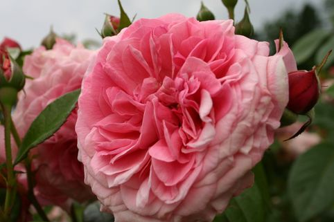Strauchrose 'Zaide' ® - Rosa 'Zaide' ®