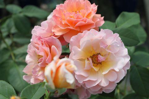 Strauchrose/Beetrose 'Arabia' ® - Rosa 'Arabia' ®