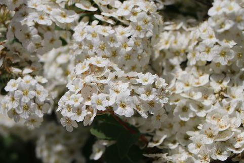 Strauchspiere 'Flächenfüller' - Spiraea nipponica 'Flächenfüller'