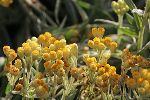 Strohblume 'Goldkind' - Helichrysum thianshanicum 'Goldkind'