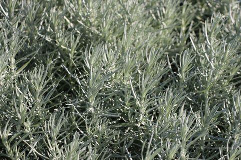 Currykraut 'Tall' - Helichrysum italicum 'Tall'