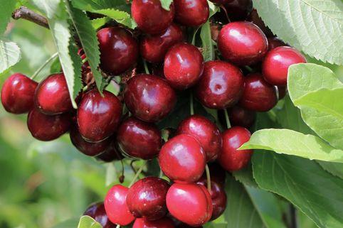 Süßkirsche 'Bianca' - Prunus 'Bianca'