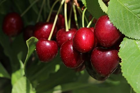 Süßkirsche 'Erika' - Prunus 'Erika'