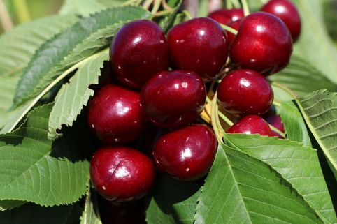 Süßkirsche 'Giorgia' - Prunus avium 'Giorgia'