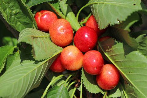 Süßkirsche 'Große Prinzessinkirsche' / 'Napoleon' - Prunus 'Große Prinzessinkirsche' / 'Napoleon'