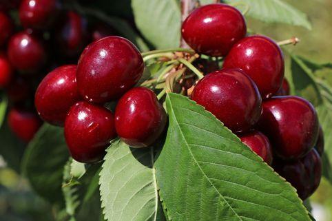 Süßkirsche 'Lapins' / selbstfruchtend - Prunus 'Lapins'