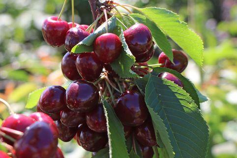 Süßkirsche 'Maibigarreau' - Prunus 'Maibigarreau'