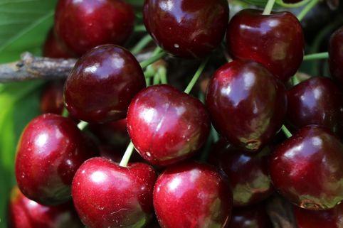 Süßkirsche 'Oktavia' - Prunus 'Oktavia'