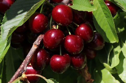 Süßkirsche 'Sam' - Prunus avium 'Sam'