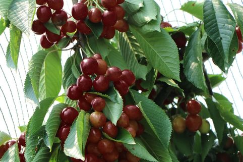 Süßkirsche 'Starking Hardy Giant' - Prunus avium 'Starking Hardy Giant'