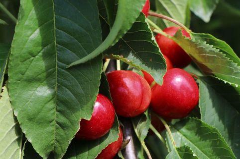 Süßkirsche 'Stella Compact' ® als Ministämmchen - Prunus avium 'Stella Compact' ® als Ministämmchen