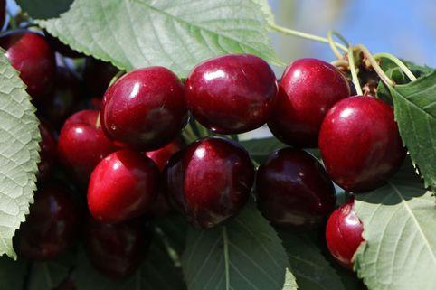 Süßkirsche 'Summit' - Prunus avium 'Summit'