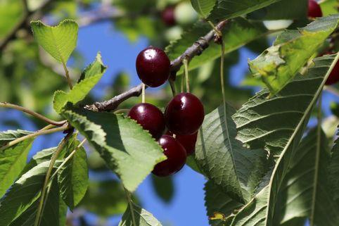 Süßkirsche 'Swing' ® - Prunus avium 'Swing' ®
