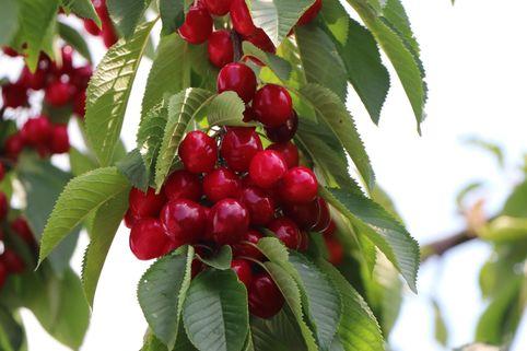 Süßkirsche 'Valeska' - Prunus 'Valeska'