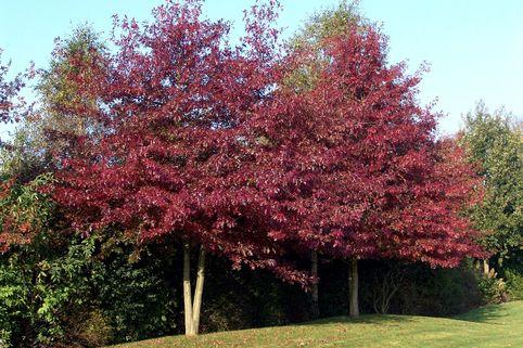 Sumpf-Eiche / Boulevard-Eiche / Spree-Eiche - Quercus palustris