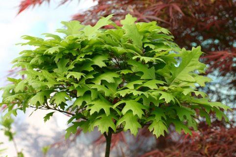 Sumpf-Eiche 'Green Dwarf' - Quercus palustris 'Green Dwarf'