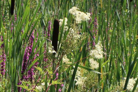 Sumpf-Mädesüß - Filipendula ulmaria