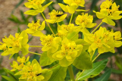 Sumpf-Wolfsmilch - Euphorbia palustris