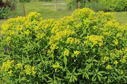 Sumpf-Wolfsmilch 'Walenburg's Glorie' - Euphorbia palustris 'Walenburg's Glorie'