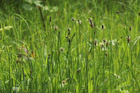 Sumpfsimse - Eleocharis palustris