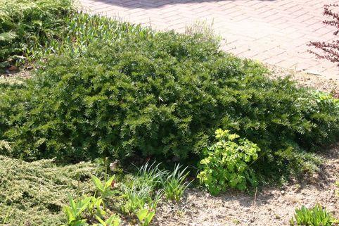 Tafeleibe / Kisseneibe / Bodendeckereibe - Taxus baccata 'Repandens'