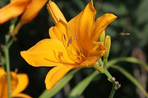 Taglilie 'Aten' - Hemerocallis x cultorum 'Aten'
