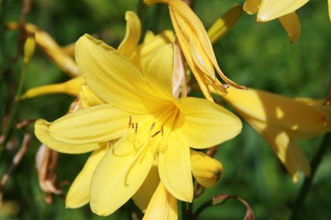 Taglilie 'Corky' - Hemerocallis x cultorum 'Corky'