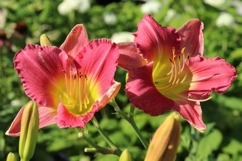 Taglilie 'Final Touch' - Hemerocallis x cultorum 'Final Touch'