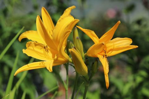 Taglilie 'Golden Scepter' - Hemerocallis x cultorum 'Golden Scepter'