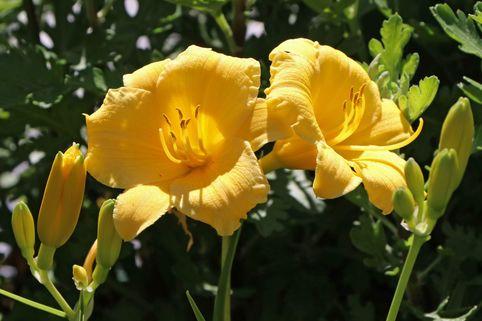 Taglilie 'Stella de Oro' - Hemerocallis x cultorum 'Stella de Oro'