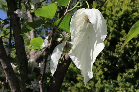 Taschentuchbaum / Frühblühender Taubenbaum 'Sonoma' - Davidia involucrata 'Sonoma'