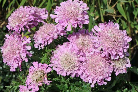 Tauben-Skabiose 'Pink Mist' - Scabiosa columbaria 'Pink Mist'