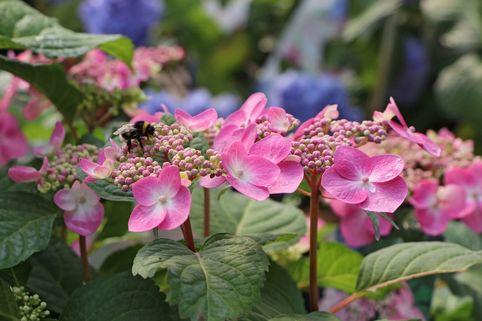 Tellerhortensie Endless Summer ® 'Twist-n-Shout' (Rosa) - Hydrangea macrophylla Endless Summer ® 'Twist-n-Shout' ® (Rosa)