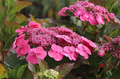 Tellerhortensie / Gesägte Hortensie 'Cotton Candy' - Hydrangea serrata 'Cotton Candy'