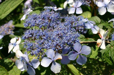 Kleinwüchsige Tellerhortensie 'Bluebird' - Hydrangea serrata 'Bluebird'