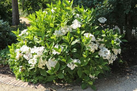 Tellerhortensie 'Lanarth White' - Hydrangea macrophylla 'Lanarth White'