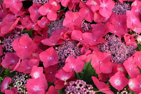 Tellerhortensie Royalty® Collection 'Kardinal' - Hydrangea macrophylla Royalty® Collection 'Kardinal'