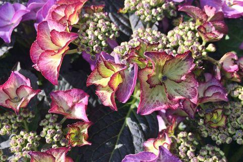 Tellerhortensie Royalty ® Collection 'Tiffany ® Violet' - Hydrangea macrophylla Royalty ® Collection 'Tiffany ® Violet'