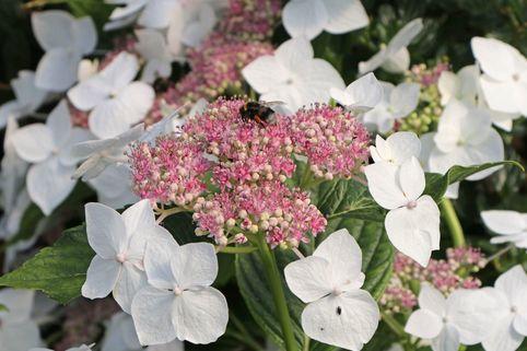 Tellerhortensie 'Teller White' / 'Libelle' - Hydrangea macrophylla 'Teller White' / 'Libelle'
