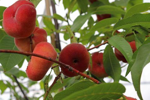 Tellerpfirsich 'Saturne' - Prunus persica 'Saturne'