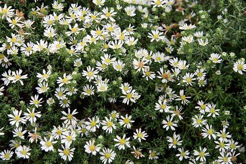 Teppich-Aster 'Snowflurry' - Aster ericoides var. pansus 'Snowflurry'
