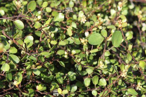Teppich-Drahtstrauch - Muehlenbeckia axillaris
