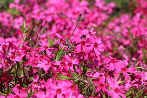 Teppich-Flammenblume 'Atropurpurea' - Phlox subulata 'Atropurpurea'