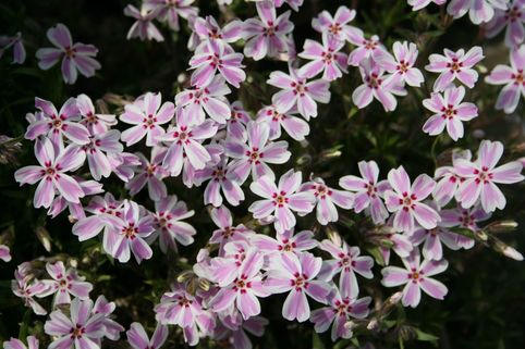 Teppich-Flammenblume 'Candy Stripes' - Phlox subulata 'Candy Stripes'
