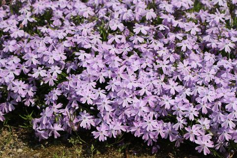 Teppich-Flammenblume 'Emerald Cushion Blue' - Phlox subulata 'Emerald Cushion Blue'