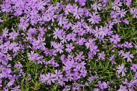 Teppich-Flammenblume 'Purple Beauty' - Phlox subulata 'Purple Beauty'