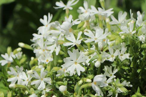 Teppich-Flammenblume 'Snowflake' - Phlox subulata 'Snowflake'