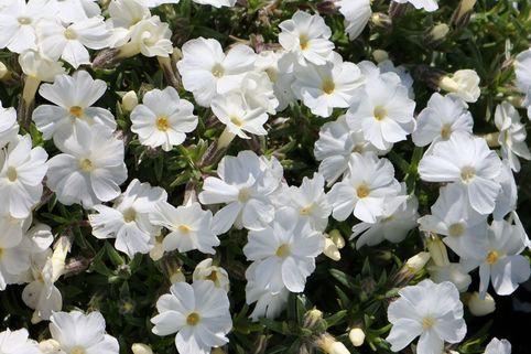 Teppich-Flammenblume 'White Admiral' - Phlox douglasii 'White Admiral'